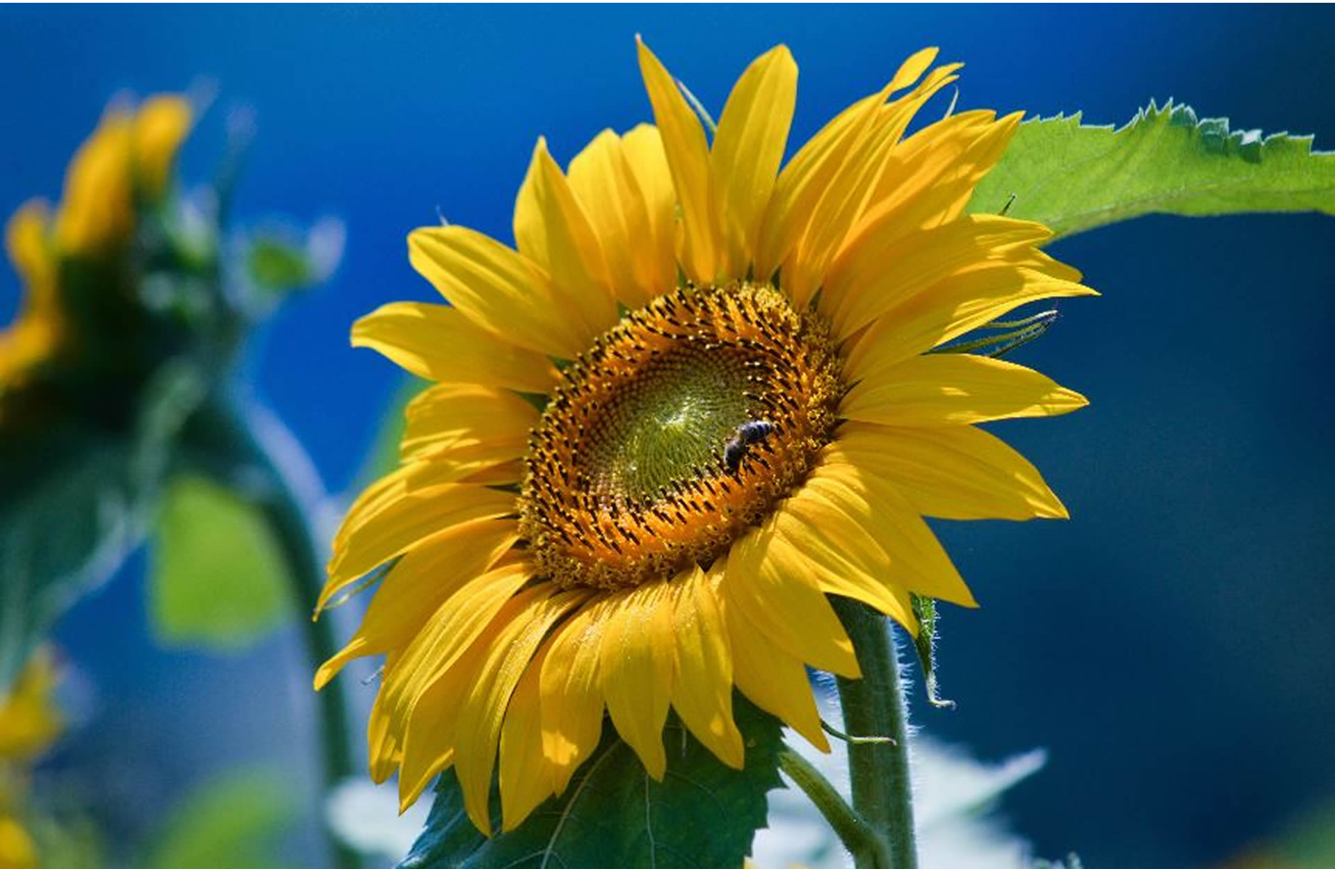 top-sunflower-bottle